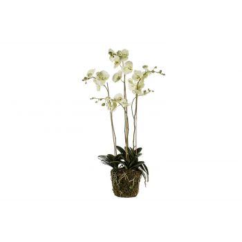 Cosy @ Home Phalaenopsis Plant With Moss Vert 105cm
