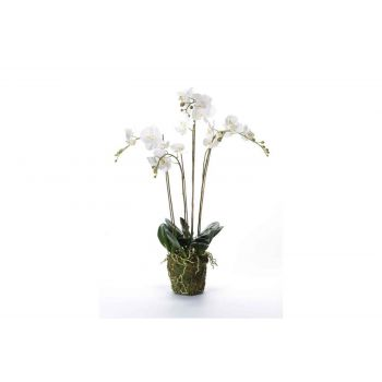 Cosy @ Home Phalaenopsis With Moss Blanc 10x10xh90cm